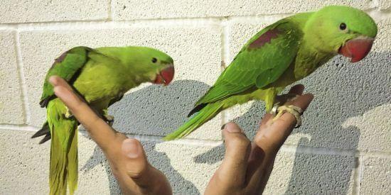 Baby Alexandrine Parrots  (8 weeks old)