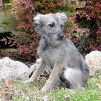 Baby Bella Westie, West Highland White Terrier Puppy Female
