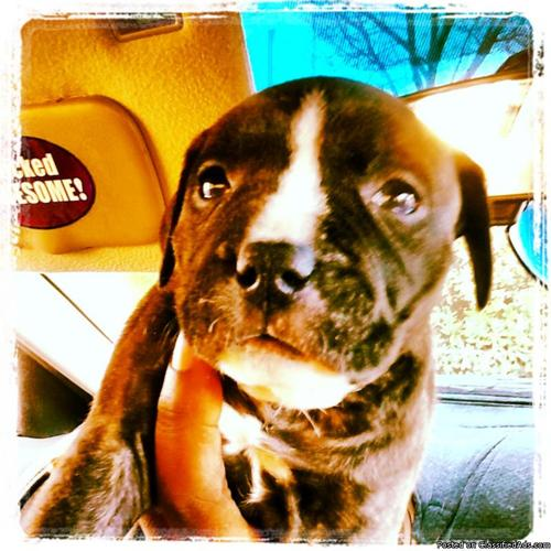 Baby Blue Brindle bully style pit bull puppy