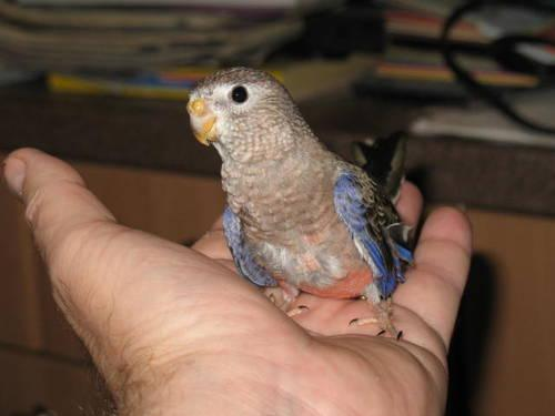 Baby Bourkes Parakeets
