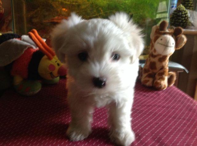 Baby boy maltese