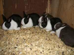 baby bunnies - $5 (Danville PA)