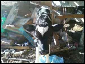 baby calves - $75 (newton,nc)