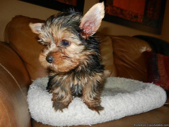 Baby Dolls Face Yorkies Puppies Male For Sale In Miami Florida