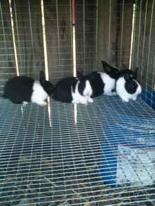 Baby Dutch Rabbits - $15 (Paragould)