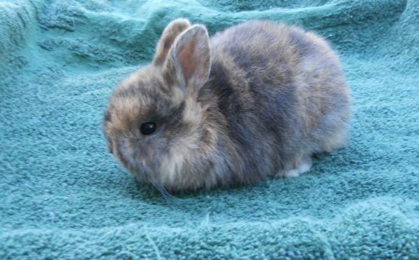 Baby Dwarf Rabbits Cottonwood For Sale In Redding