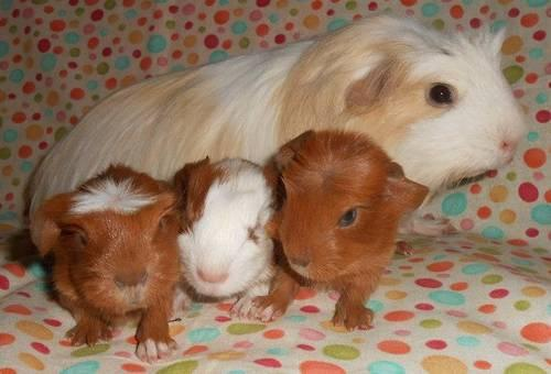 baby girl coronet guinea pigs for Sale in Lakeland ...