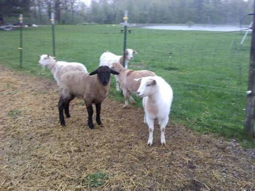 Llama Babies For Sale Baby Goats And Sheep For Sale