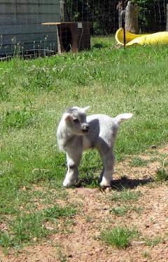 Baby Goats!! Minatures, Mini Nigerian Dwarf, Pygmy &