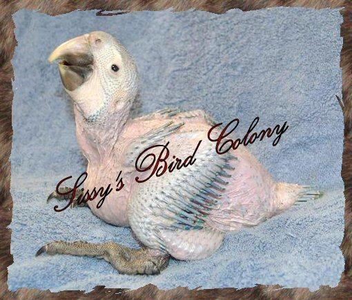 Baby Harlequin Macaws for Sale in Aylett, Virginia ...
