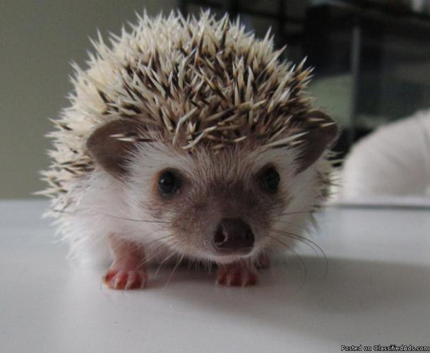 Baby Hedgehogs for Sale in Glendale Heights, Illinois Classified : AmericanListed.com
