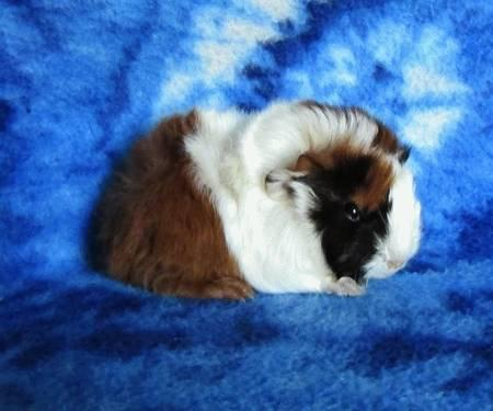Baby Long Haired Guinea Pig For Sale In Indianapolis