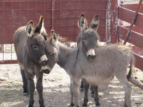 Baby Mini Donkeys San Marcos For Sale In Austin Texas Classified