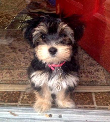Baby Morkies Are Back For Sale In Bardstown Kentucky
