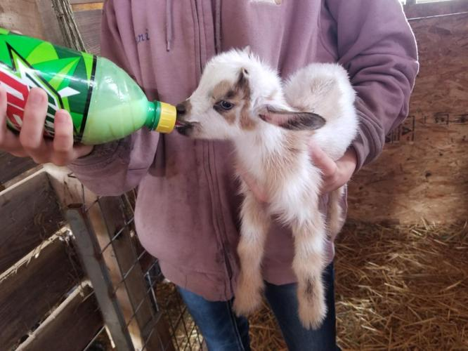 Baby Nigerian Goats For Sale