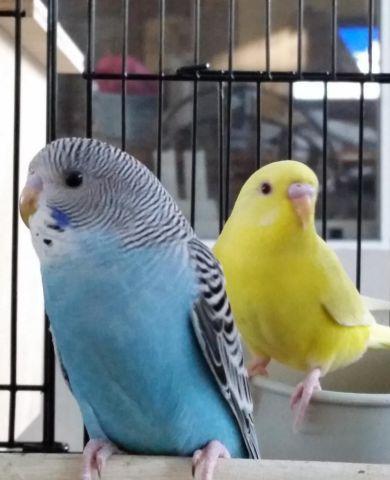 Lavender Parakeet