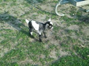 BABY PIGMY GOATS-BLUE EYED - $75 (Hubbard)