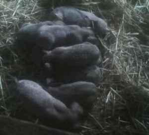 Baby pigs for sale (Madison)