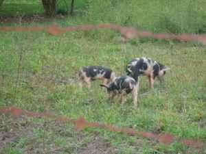 BABY PIGS -feeder pigs - $40 (Rushville,IN)