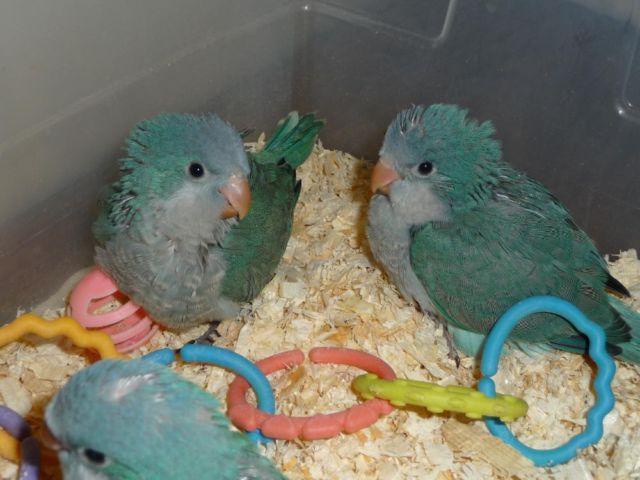 Quaker parrots for sale