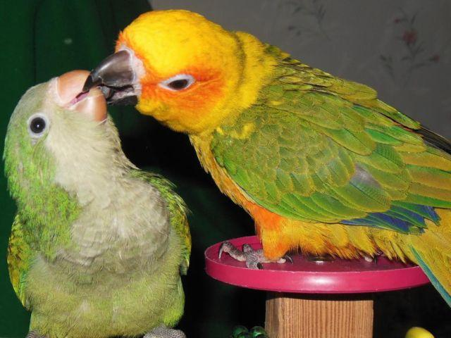 Mystery surrounds disappearance of wahi quaker parrots
