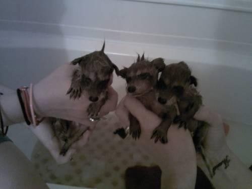 Raccoons Babies For Sale Baby Raccoons For Sale in
