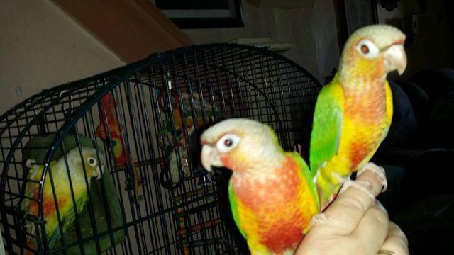 Baby red factor pineapple green cheek conures for sale in center