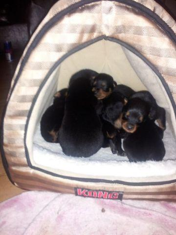 Baby Rottweiler Puppies Born 081214 For Sale In Muhlenberg New