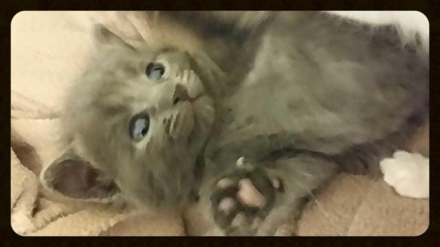 Baby Scottish fold kitten