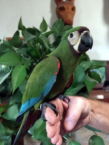 Baby Severe Macaw for sale
