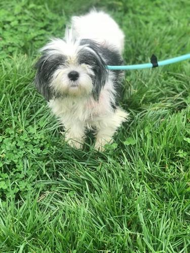 Baby Shih Tzu Adult Adoption Rescue For Sale In
