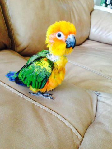Parrot Conure Pets And Animals For Sale In The Usa Puppy And