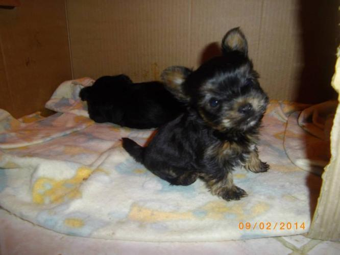 Baby teacup Yorkie puppies for adoption for Sale in ...