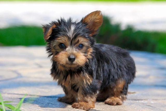 Baby Teacup Yorkshire Terrier For Sale In Howard Ohio Classified