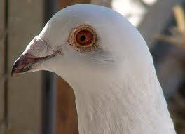 Baby white racing homing pigeons with colored eyes for ...