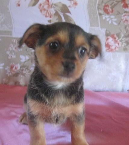 Baby Yorkie Long Hair Chihuahua Mix For Sale In Attalla Alabama