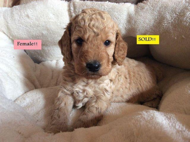 Babydoll Cockapoo Puppies For Sale In Cincinnati Ohio Classified Americanlisted Com