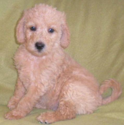 Bailey Georgious Labradoodle Puppy For Sale In Ohio For Sale In