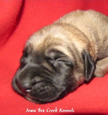 ... Pictures english mastiff pets pet playing funny dog animals sunrise