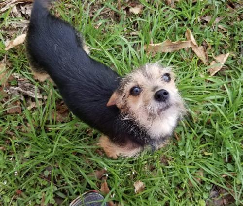 Bailey Js In Ms Duplicate Yorkshire Terrier Yorkie Young