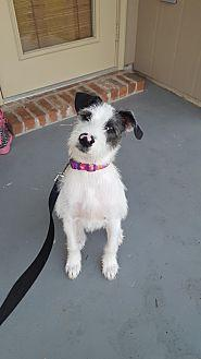 Bailey Wirehaired Fox Terrier Puppy Female For Sale In Denver