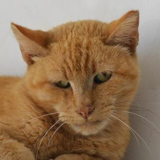 Baldwin Domestic Shorthair Senior Male