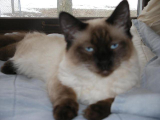 Balinese Kittens Long Hair Seal Point Male For Sale In