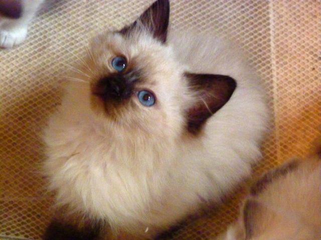 Kitten Short or Long Hair Balinese Kittens Long Hair
