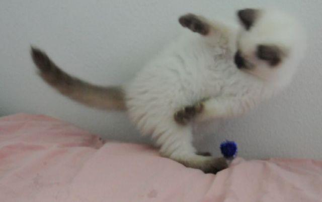 Balinese Kittens (long hair Siamese) Seal, Chocolate, Blue, Lilac