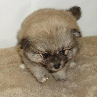 pomeranian puppies for sale in alabama bama gorgeous male pomeranian puppy for sale in decatur 8571