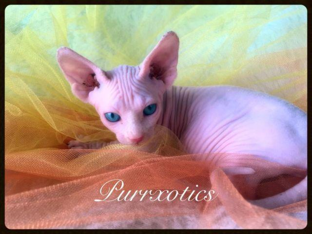 Sphynx Cat For Sale San Diego