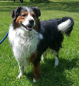 Bandit Bernese Mountain Dog Adult Male For Sale In Oakland