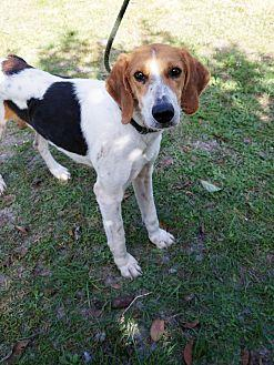 Bandit Foxhound Adult Male
