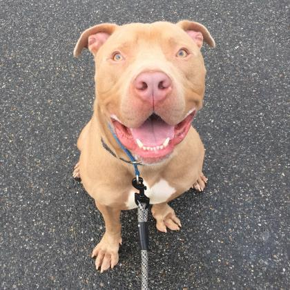 Banjo Pit Bull Terrier Adult - Adoption, Rescue for Sale ...